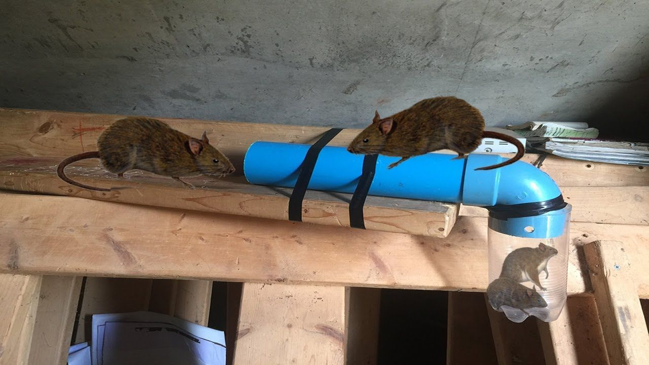 Awesome Quick Rat Trap Using Pvc Plastic Bottle How To Make