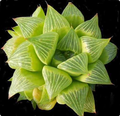 Haworthia retusa fa geraldii | Small succulent plants, Plants