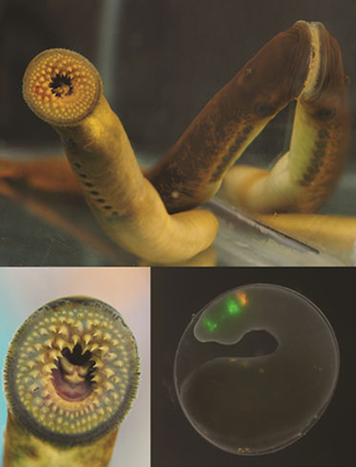 Stowers Institute for Medical Research Vertebrates