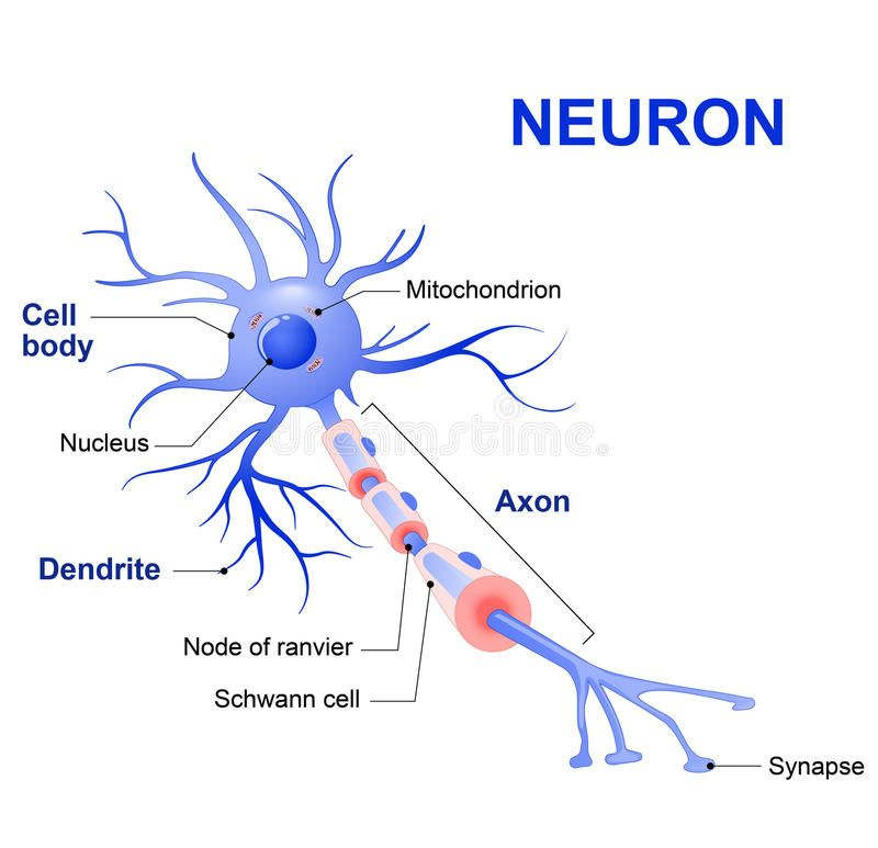Structure Of A Typical Neuron Stock Vector - Illustration of emotion, detail: 71773901