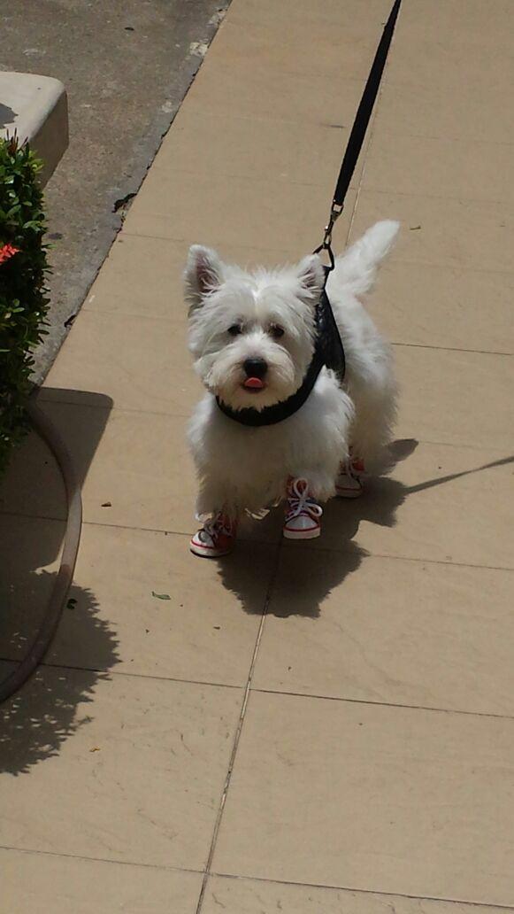 Westie Terrier - passeio de tênis