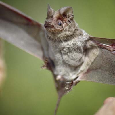 Texas State Mammal (flying): Mexican free-tailed bat. | Texas ...