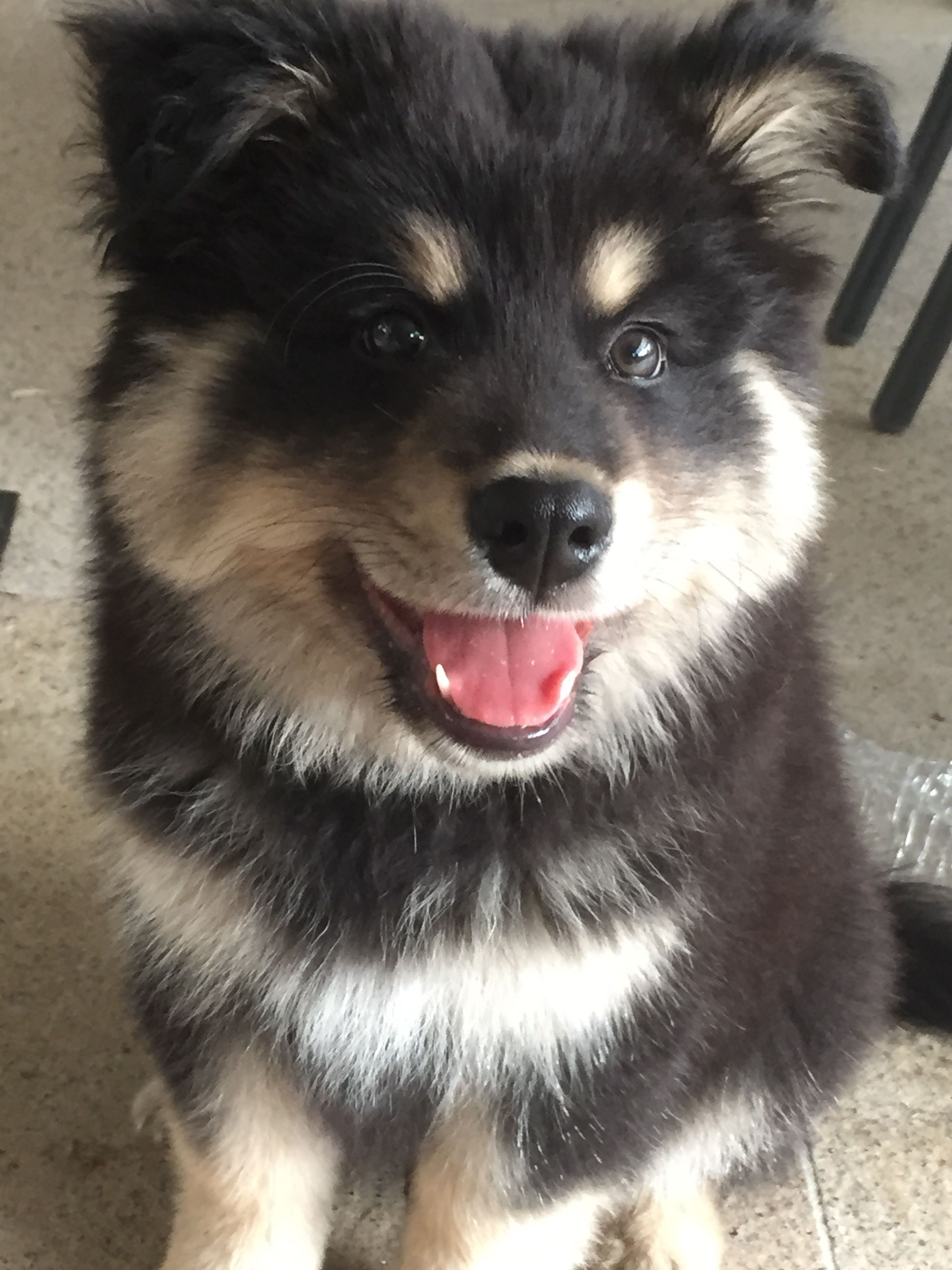 Keiko, my Finnish Lapphund. 11 weeks old … (With images ...