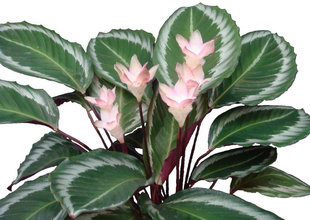 Картинки цветка калатея
