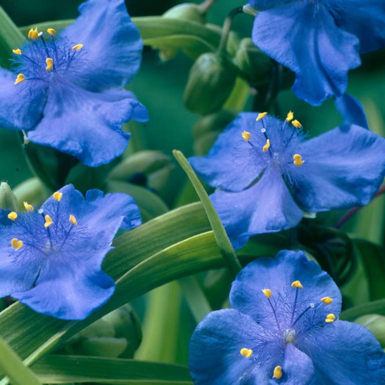 Tarhajuoru Zwanenburg Blue - Viherpeukalot
