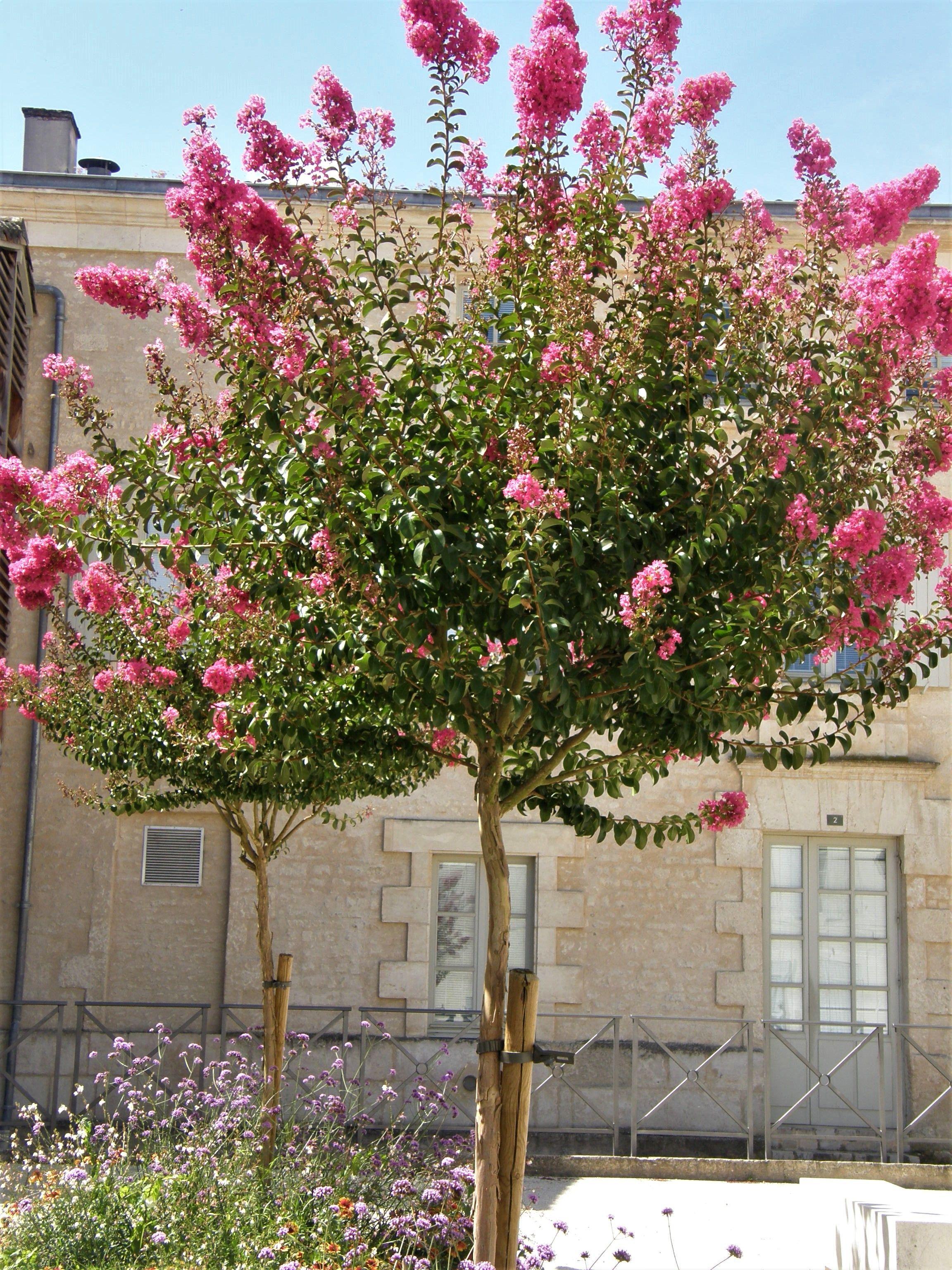Planter Un Lilas En Pot lagerstroemia indica, le lilas de indes   arbres pour petit