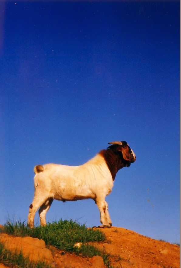 #goatvet likes this photo of a Boer buck from Margaret Muir 's blog called -: Of Ghosts and Goats.