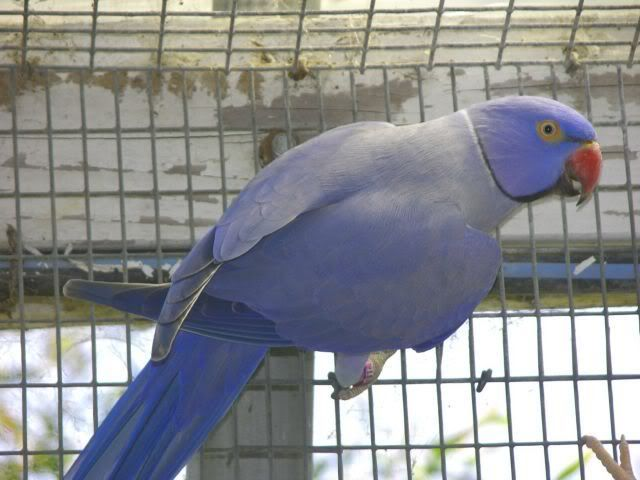 """violet male"""" -- violet male WHAT? Some kind of ring-neck parrot or ..."""