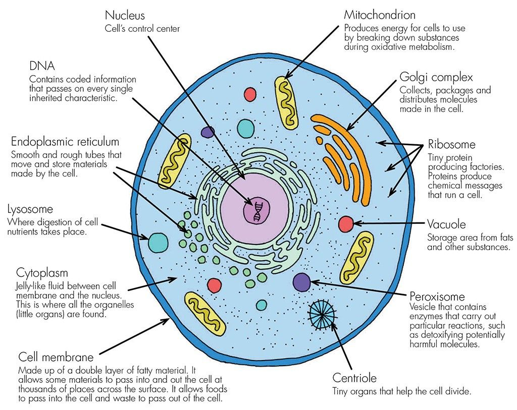 A basic, living animal cell with it's organselles (mini ...