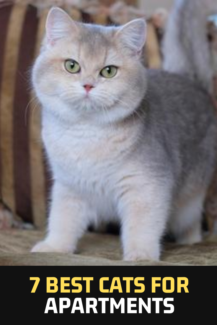 7 Best Cats For Apartments In 2020 Cats Best Cat Breeds Cool Cats
