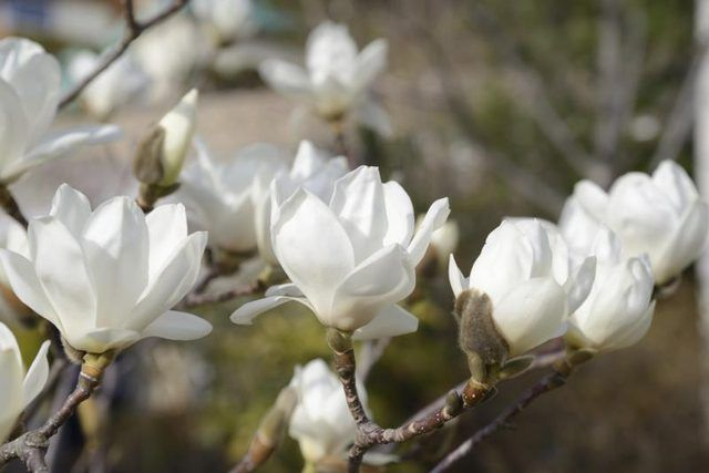 Tall Plants For A Privacy Fence Zelma The Joy Of Living Magnolia