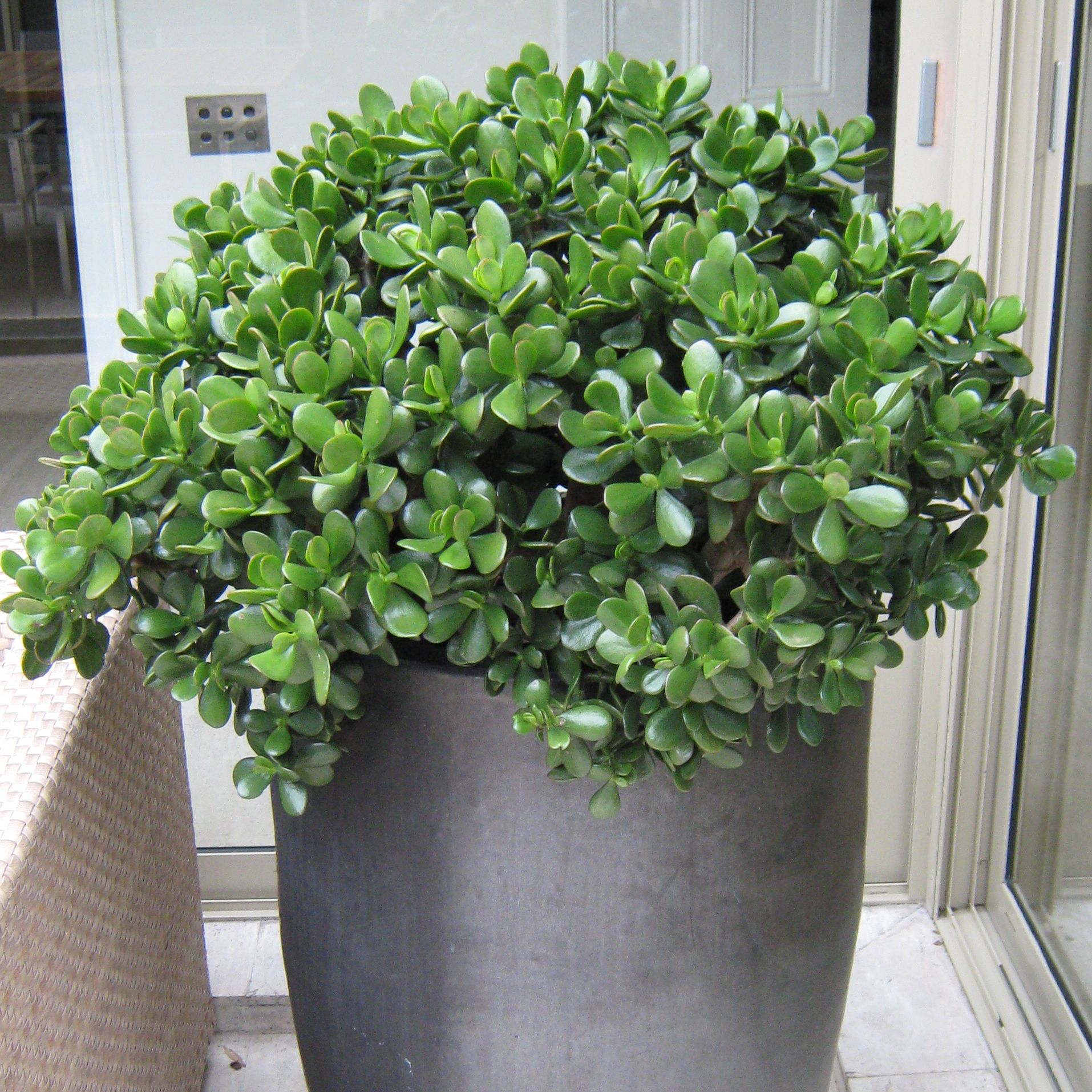 crassula ovata id es de l 39 int rieur pinterest plantes zen et int rieur. Black Bedroom Furniture Sets. Home Design Ideas