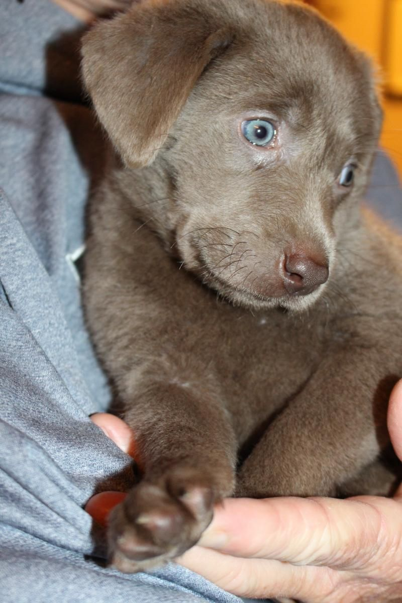 Labrador Retriever Silver Lab Puppy In Springfield Labrador