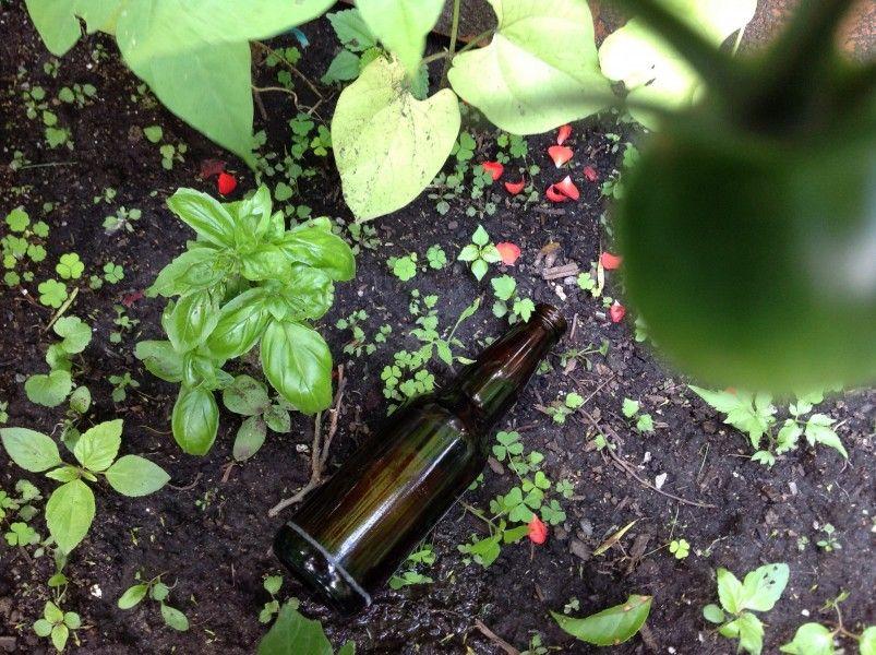 Magnifique plante aromatique qu'est le basilic, qui vient