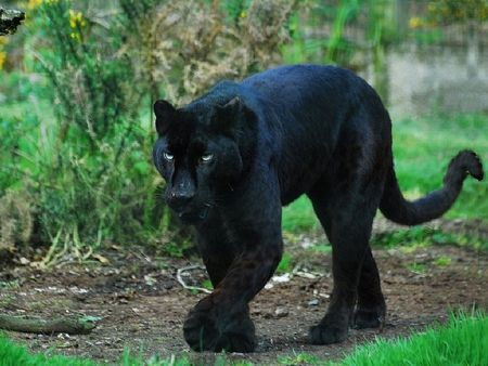 Black Panther Cats Amp Animals Background Wallpapers On