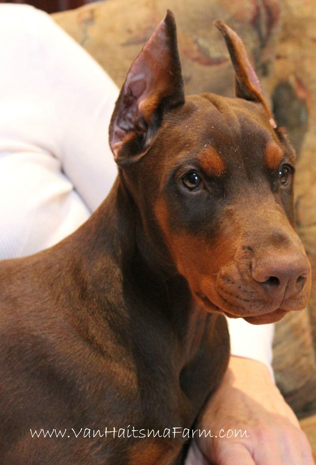 Red Doberman Puppy Female Call 417 413 4787 For More