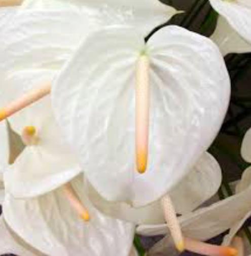 White Anthuriums Anthurium Flower Anthurium White Flowering Plants