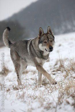 Czechoslovakian Wolfdog Wolf Dog Purebred Dogs Dogs