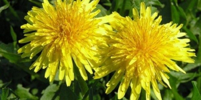 Покрај тоа што е исклучително убаво, жолтото глуварче е многу корисно, бидејќи го прочистува дебелот...