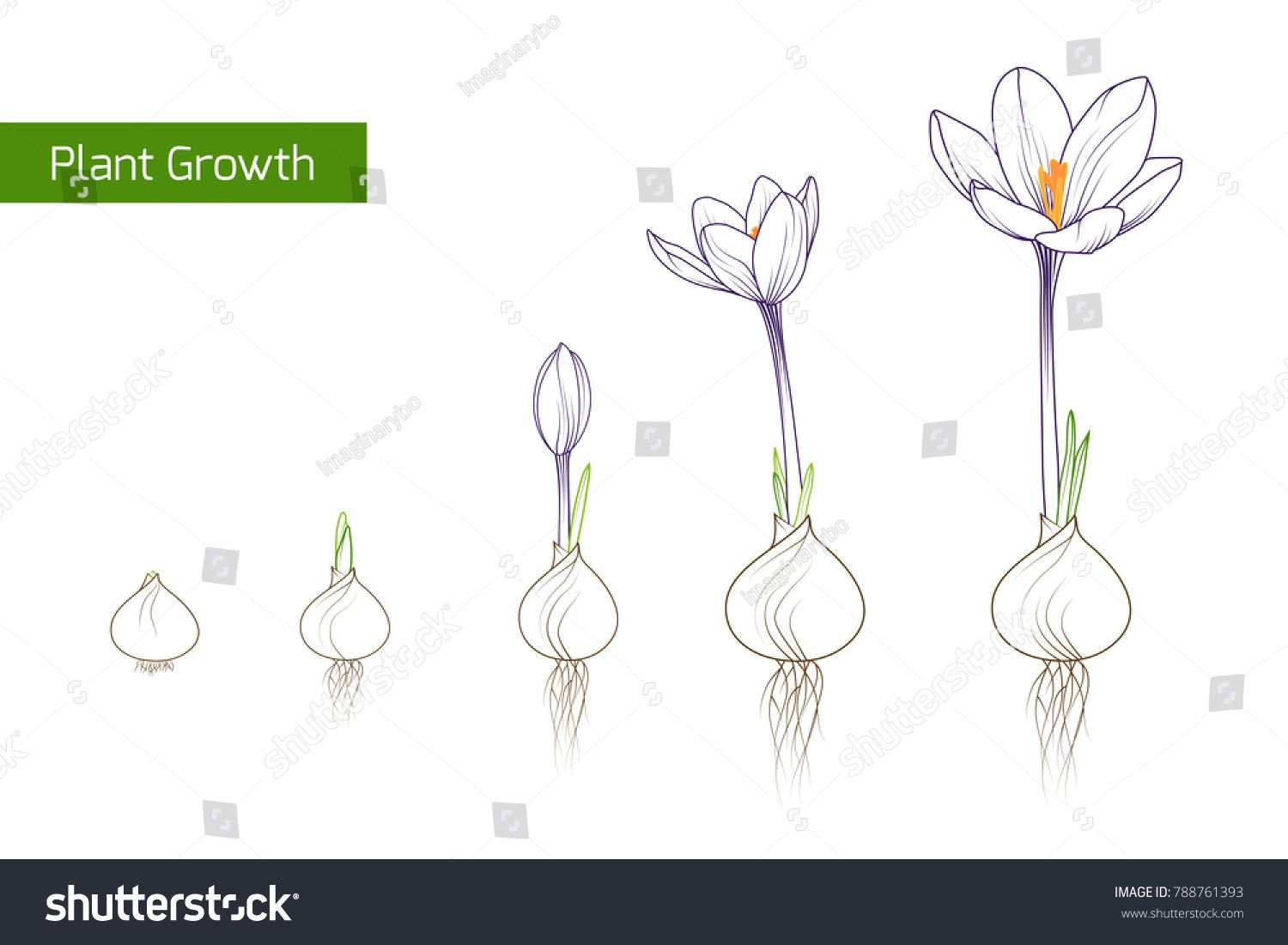 Flower plant growth concept vector design illustration crocus flower plant growth concept vector design illustration crocus germination from corm bulb to sprouts to flower life cycle phases evolution izmirmasajfo