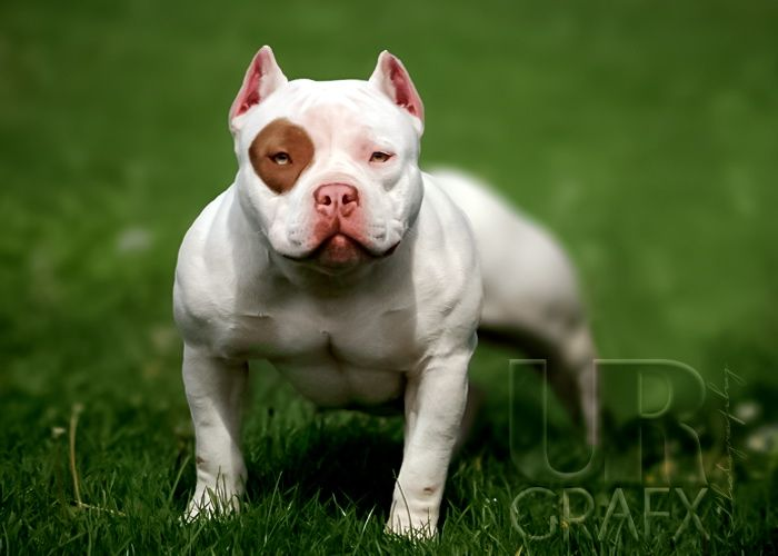 Gold Flake an American Bully