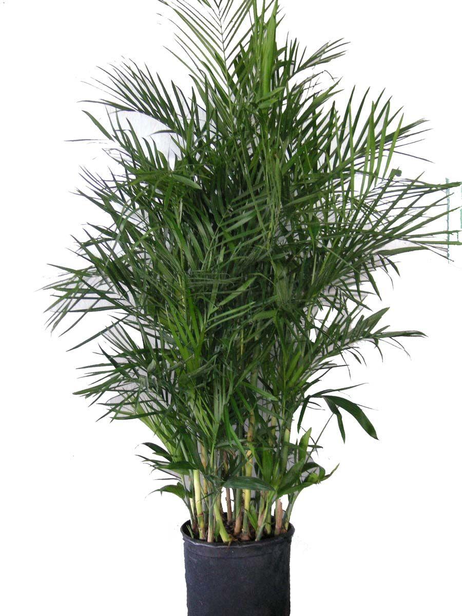 Bamboo-palm: Chamaedorea seifrizii