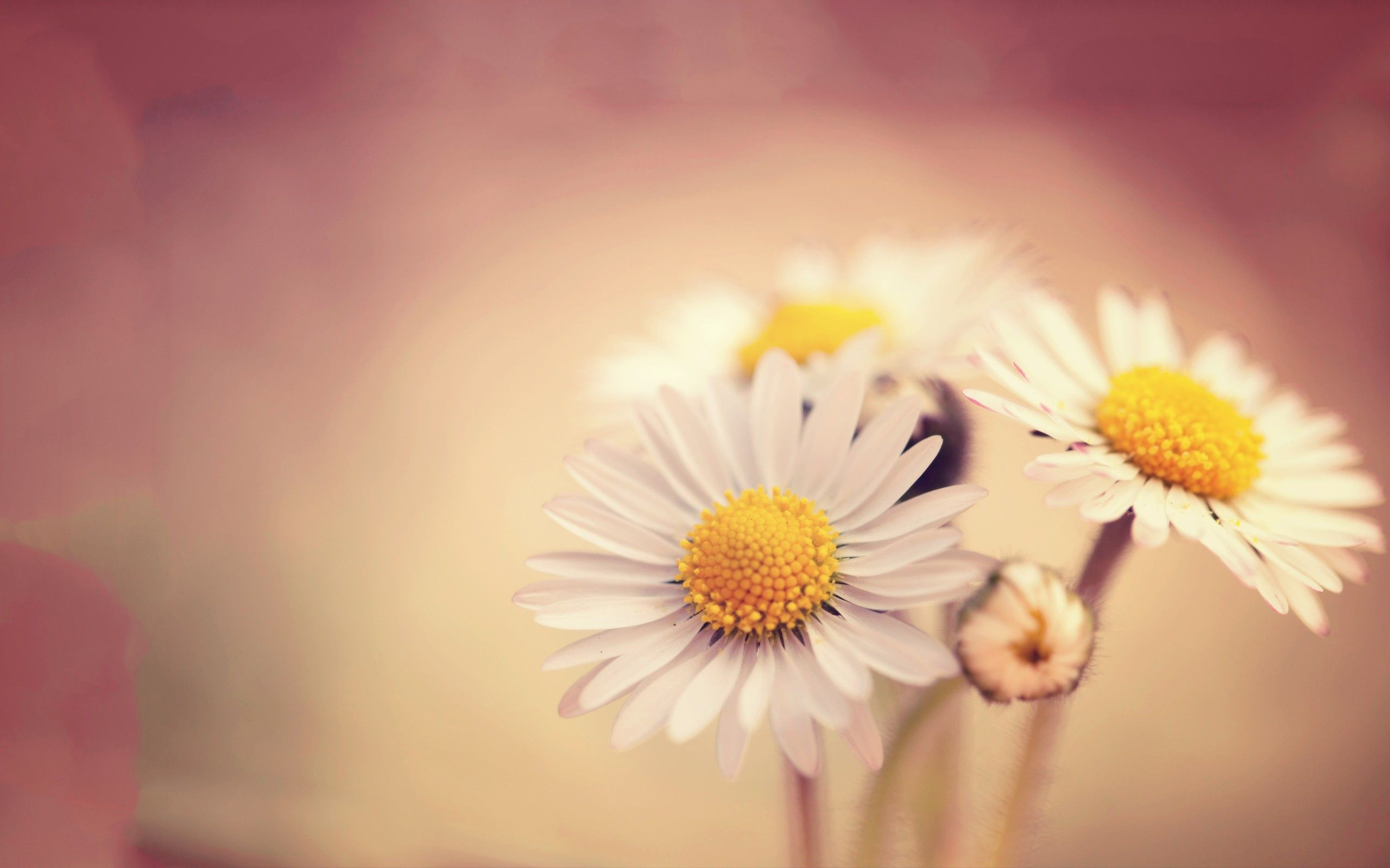Wallpapers hindi, yellow, love, oxeye daisy, poetry