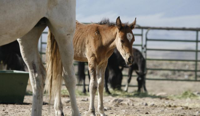 Orphaned foal in a BLM holding center.