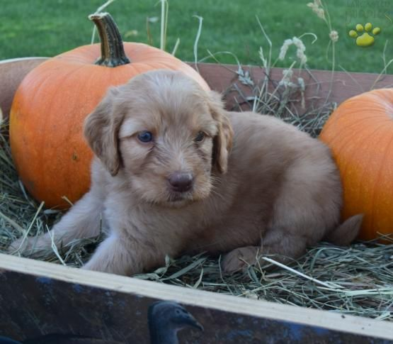 Golden Retriever Noble Loyal Companions Dogs And Puppies Golden Retriever Mix Dog Love