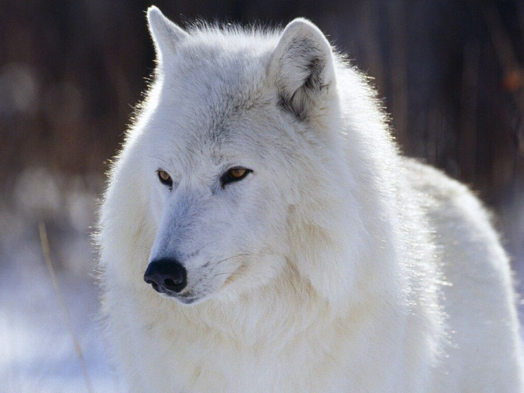 White And Black Wolf Wallpaper Images Free Download 1600 1200
