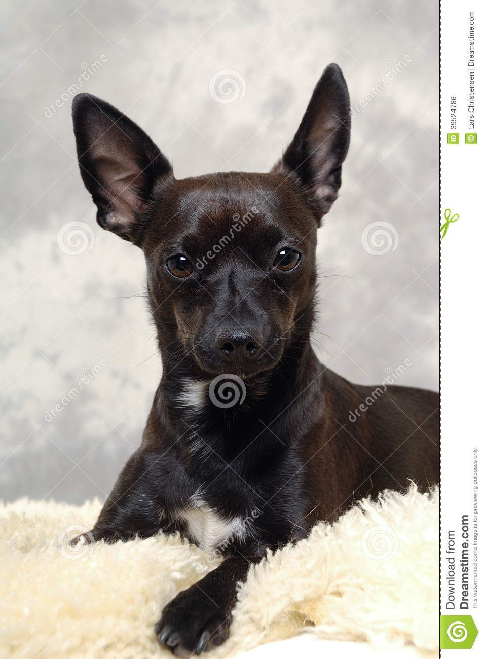 Min Pin Chihuahua Mix Characteristics Breede Of The Dog Is A