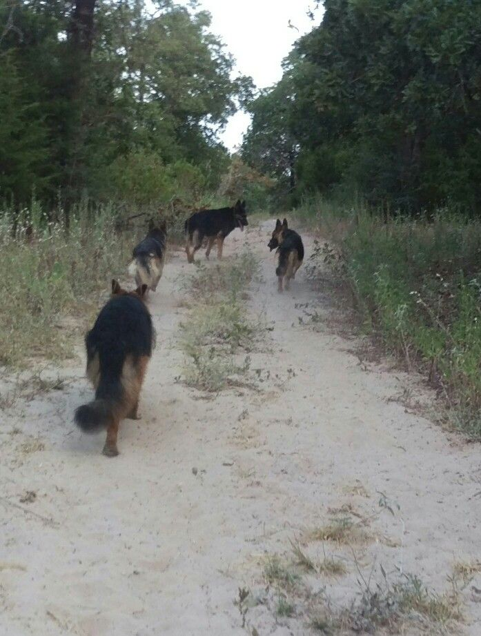 My GSD pack!