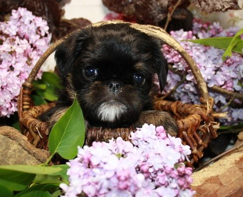 Pug And Brussels Griffon Brug Pug Mixed Breeds Cute Dog Photos