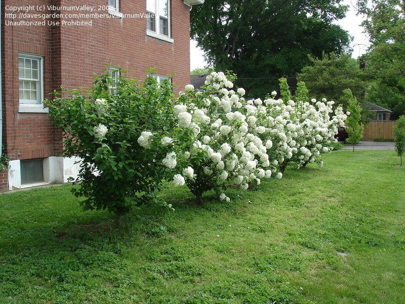 Viburnum macrocephalum \'Sterile\' (Chinese Snowball Bush) - ps/shade ...