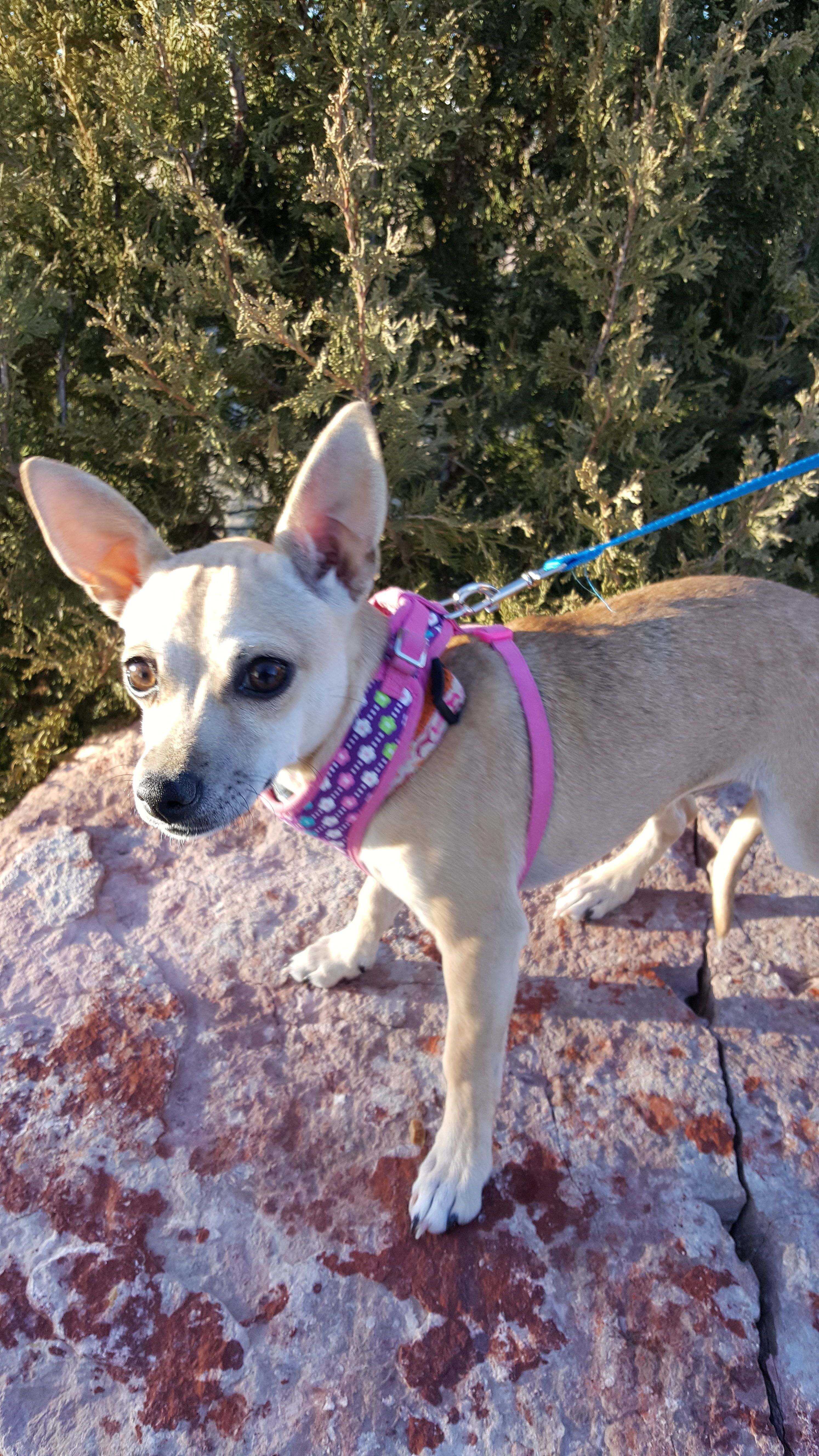 Adopt Taffy On Pets Animals Chihuahua