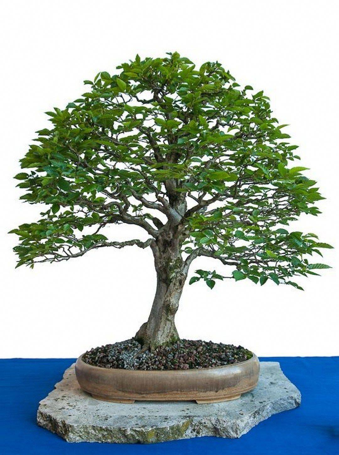 AboutTheBonzaiTree Bonsai tree care, Bonsai tree