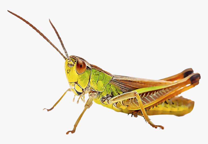 Google Image Result For Https Www Kindpng Com Picc M 156 1568050 Transparent Cricket Bug Png Cricket Insect Png Grasshopper Cricket Insect Stock Images Free