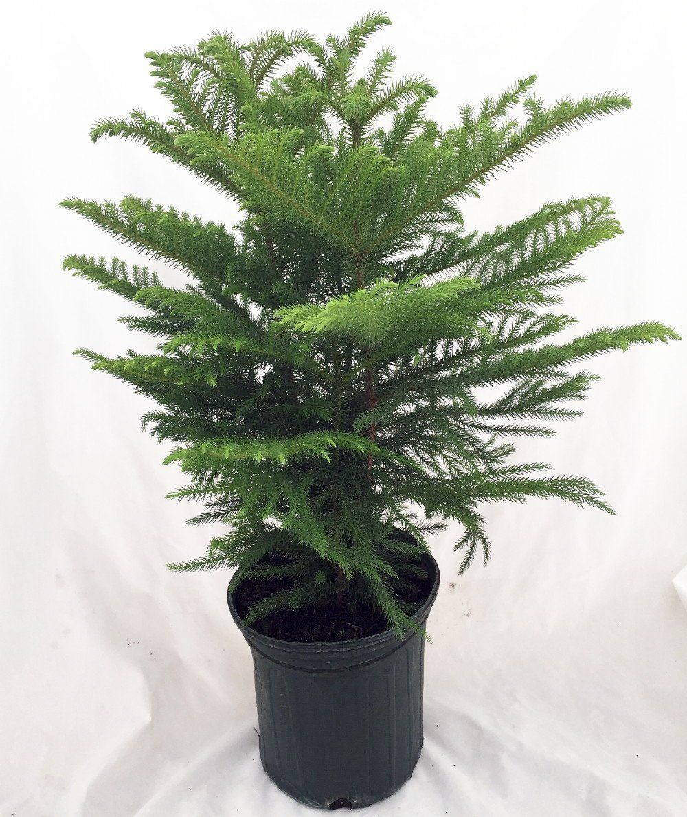 And information network araucaria heterophylla norfolk pine - Alive Baby Pine Tree Norfolk Island Pine The Indoor Christmas Tree