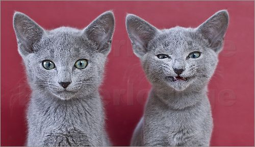 Russian Blue Kitten Pictures Russian Blue Cat Russian Blue