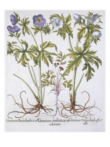Geranium Muscatum Giclee Print by Basil Besler at Art.com