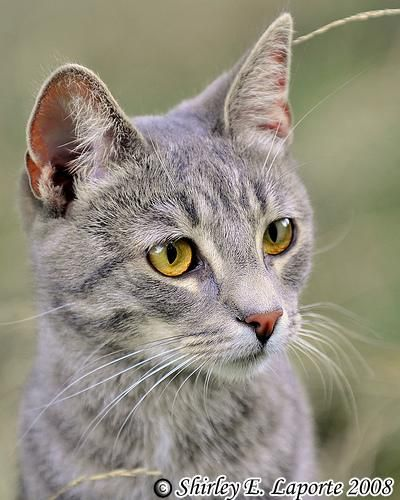 Adopt Ellie On Grey Tabby Cats American Shorthair Cat Tabby Cat