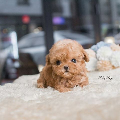 Dolly Micro Poodle Male Is Here Rollyteacuppuppies Dolly Has Short