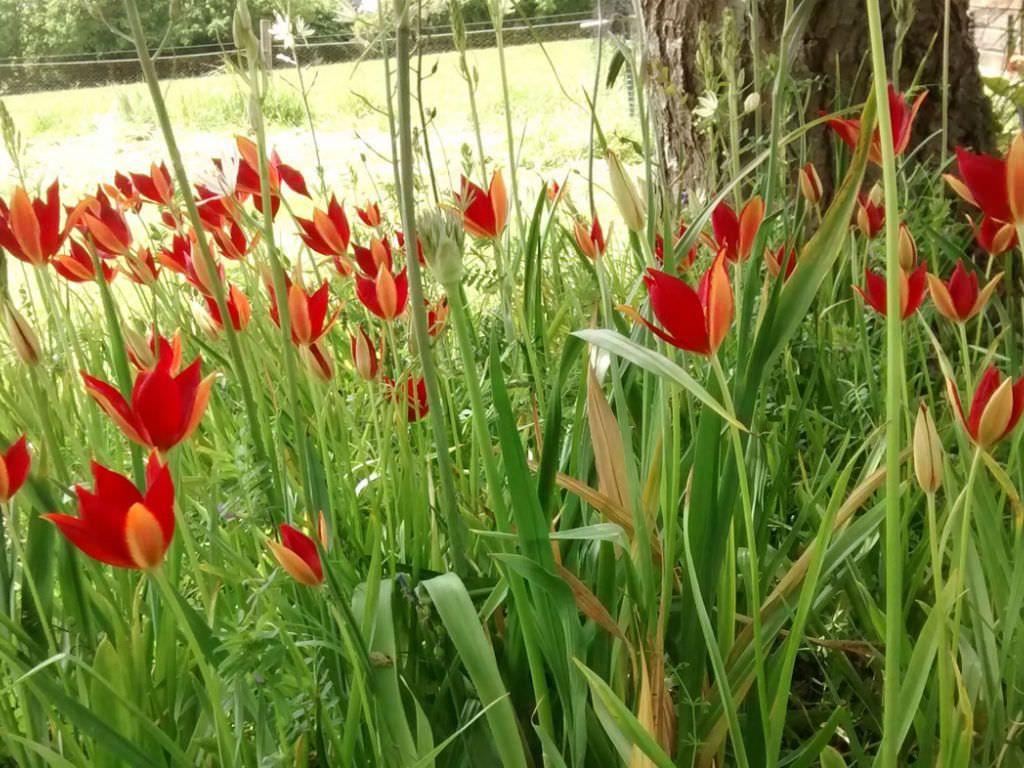 Tulipa Sprengeri Sprenger Tulip Red Flowers Perennials And Plants