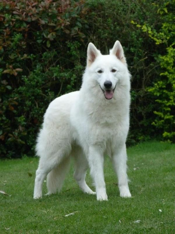 White German Shepherd Omg I Want One As Well As A Black One