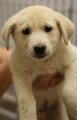 North is an adoptable Labrador Retriever searching for a forever family near Bryan, TX. Use Petfinder to find adoptable pets in your area.