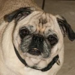 Adopt Moab On Pugs Pug Rescue Dogs