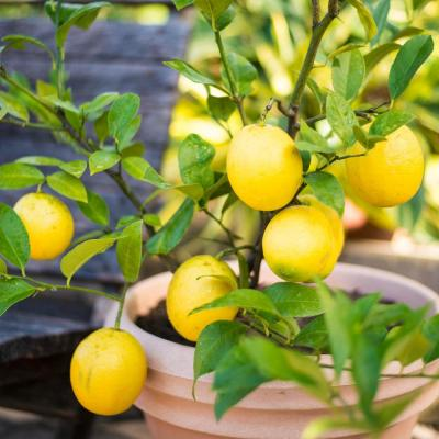 4 In Pot White Flowers To Yellow Fruit Small Meyer Lemon Tree Live Fruiting Tropical Tree 1 Pack In 2020 Meyer Lemon Tree Fruit Tree Garden Tropical Tree