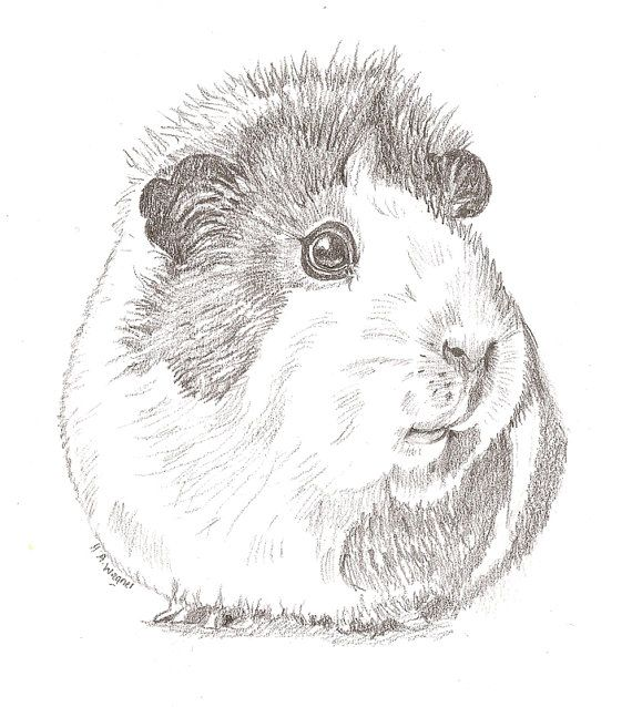 realistic guinea pig coloring pages - guinea pig cute realistic pencil drawing pet art animal