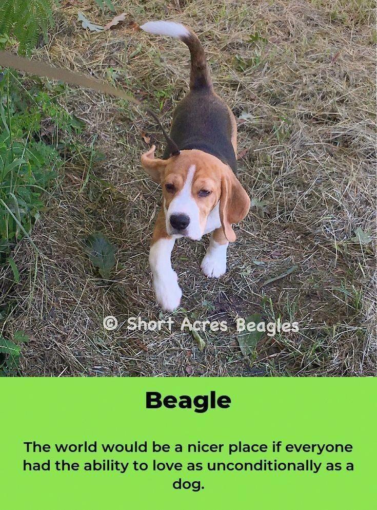 Facts On The Friendly Beagle Dog Exercise Needs Beagleworld