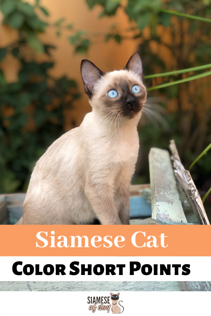 Siamese Cat Colors Chart Cat colors, Siamese cats, Siamese